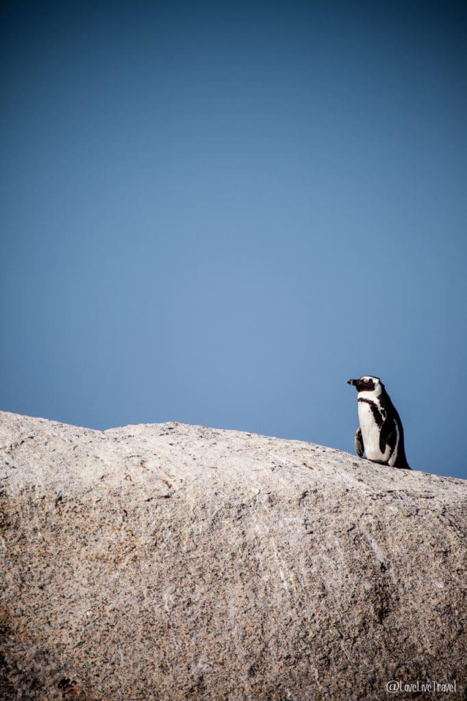 boulder beach afrique du sud blog voyage lovelivetravel