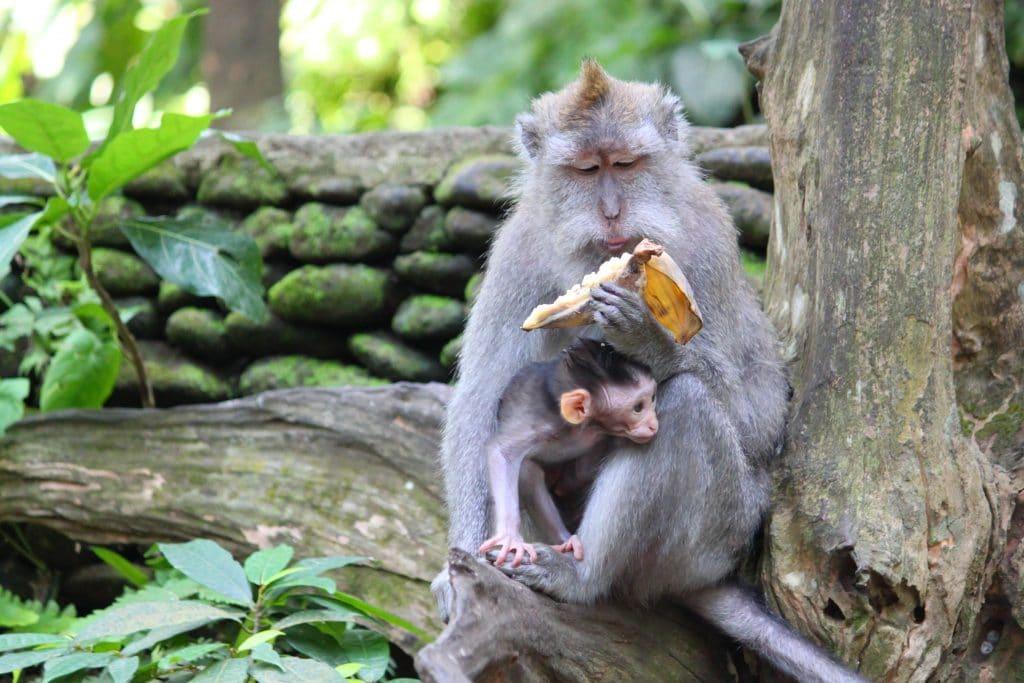 Forêt singes Bali 4