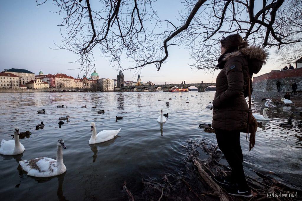 Prague république tchèque cygnes blog voyage lovelivetravel